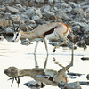 Springbok at waterhole