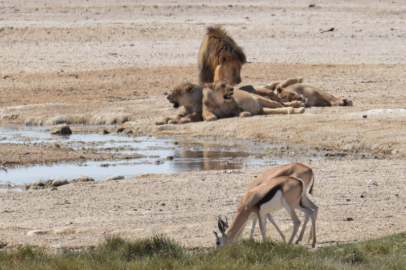 Even for lions it is too hot to hunt