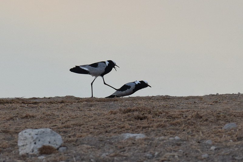 Blacksmith Lapwing mating
