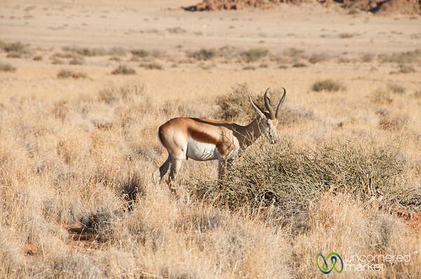 Springbok - Namib Desert, Namibia