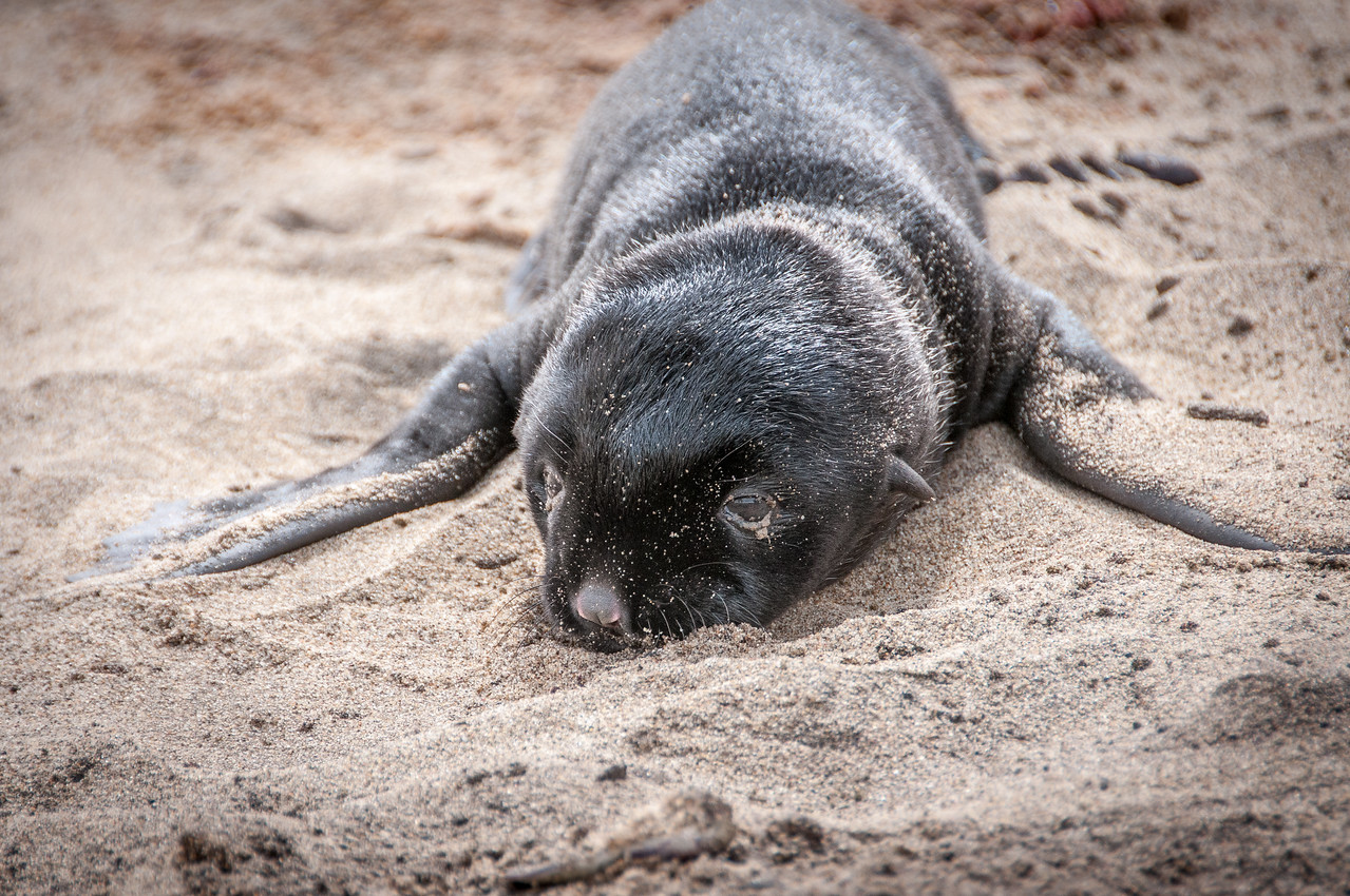 Fur seals at the coastal desert of Namib in Namibia