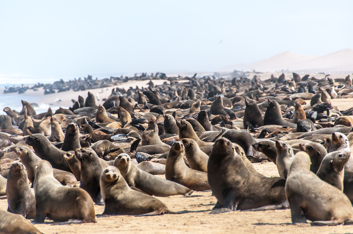 Seals on the Skeleton Coast