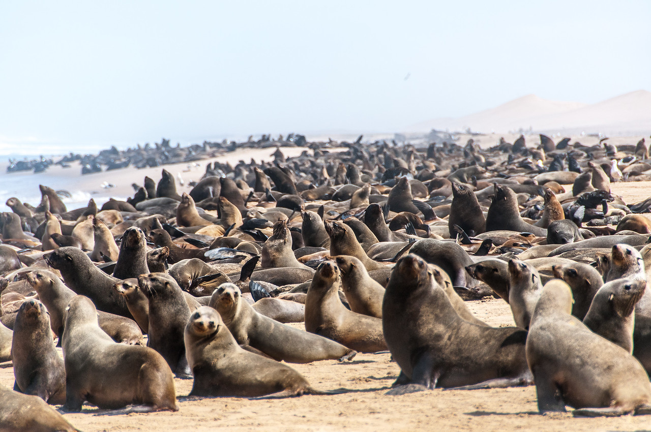 Fur seals at the Namib Desert