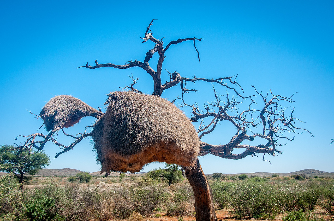 Dead tree in Damara Village in Namibia