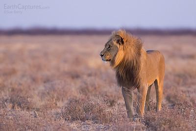 Lion at Sunrise, Nr Gemsbokvlakte, Etosha, Namibia