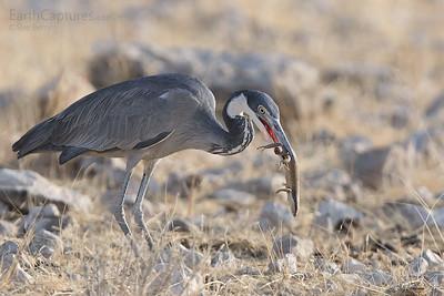 Heron with Kill, Klippan, Etosha, Namibia