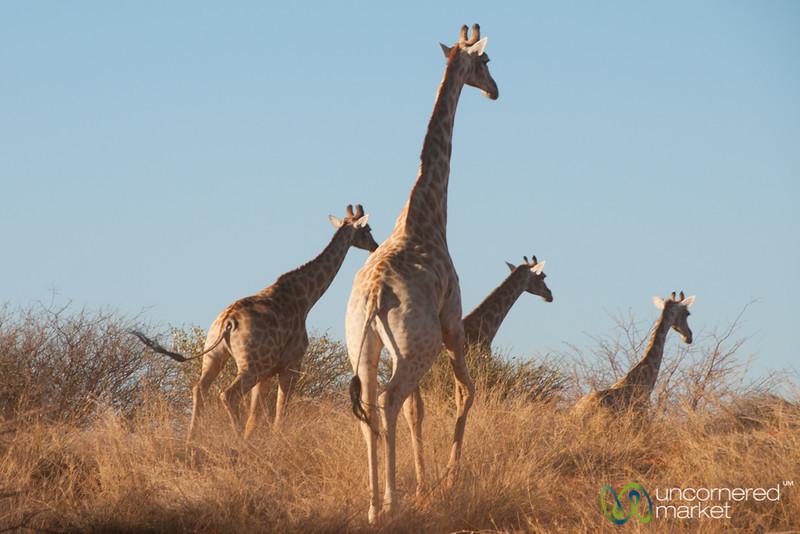 Giraffes on the Run - Kalahari, Namibia