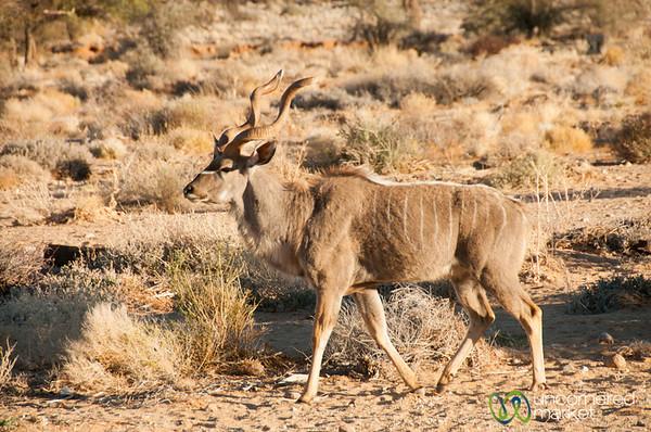 Desert Kudu - Aus, Namibia