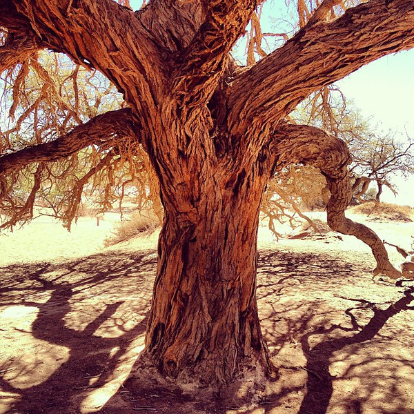 Gnarls and early morning tree shadows on the edge of dunes. Namib Desert, Namibia