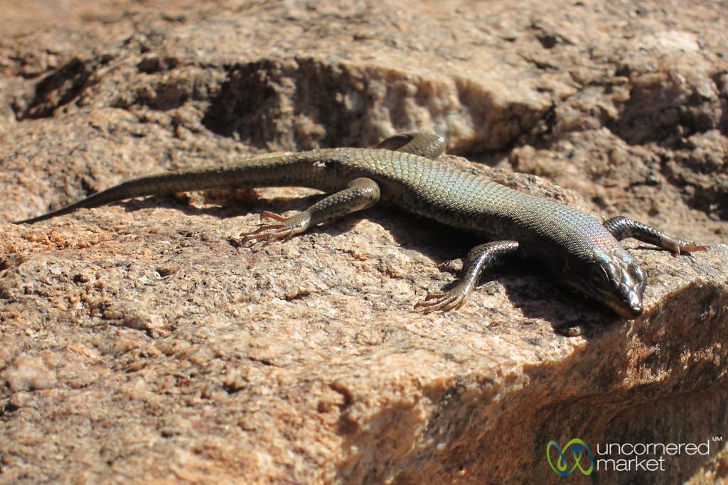 Multicolor Lizard in Aus - Namibia