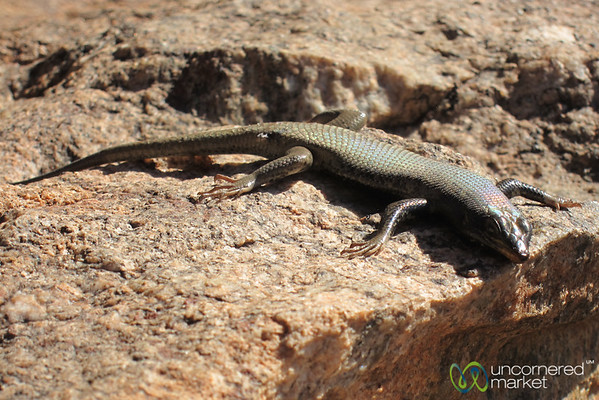 Multicolor Lizard in Aus - Namibia