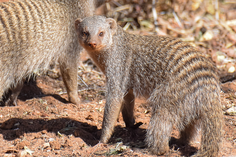 Eye-contact with Banded Mongoose