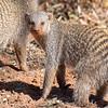 Eye-contact with Banded Mongoose
