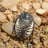 Za 2833 Kever (Calognathus spec)