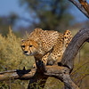 Cheetah Adult Male, Namibia Africa. Cheetahs are great tree climbers and often use these perches for the view advantage they give when hunting