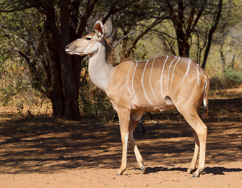 Kudu - Female - A  relatively shy member of the Antelope Family, they prefer to hide in bush and thickets.