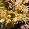 Za 1740 Zygophyllum spec