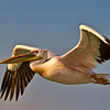 Wite Pelican - Walvis Bay, Namibia