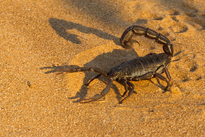 Large Black Scorpion, Namib Desert, Namibia.