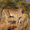 Cheetah Adult Male coming off of an old Termite nest lookout, Namibia Africa.