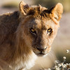 Young Male Lion, taken near the Salvadora waterhole at dawn, Etosha National Park, Namibia, June 2010