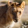 Young Male Lion, taken near the Salvadora waterhole at dawn, Etosha National Park, Namibia, June 2010