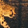 As the sun rises, a cheetah (acinonyx  jabatus) strikes a stalking pose