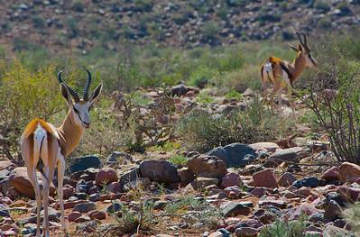 Chasing Springbok