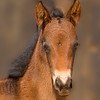 Wild Horses of the Namib Desert. A young colt shows his curiosity for my camera