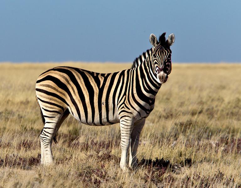 Zebra, Etosha-Namibia, 2010