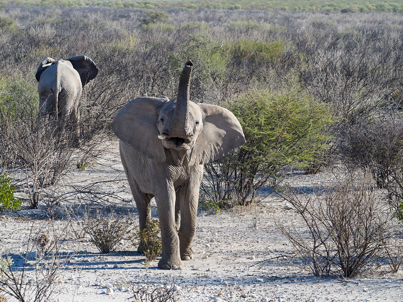 Elephant in Etosha National Park in Namibia