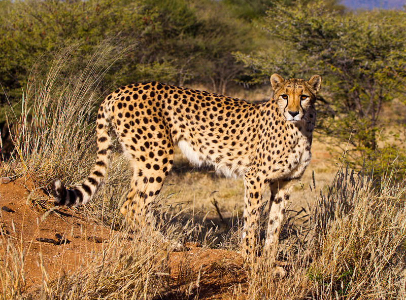 Cheetah, near the Waterburg Plateau, Namibia