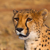 Cheetah, Namibia, 2010