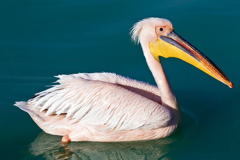 White Pelican shot at Walvis Bay, Namibia. They have a pink hue to their plumage, and were quite plentiful.