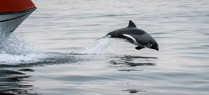 Heaviside Dolphin At Play