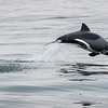 Heaviside Dolphin At Play
