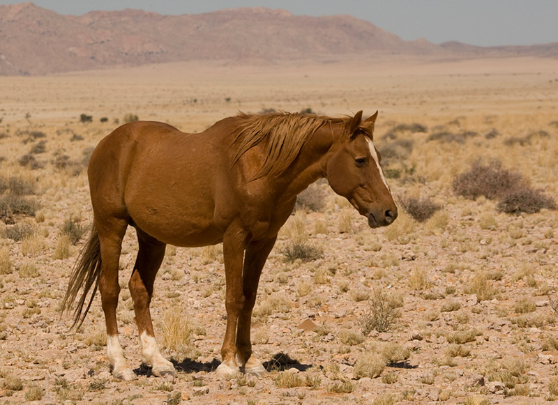 Wild Horses of the Namib Desert. A young male colt plays with his father