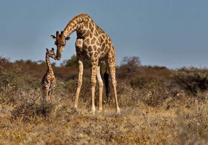 A mother Giraffe comforts her newly born offspring. Etosha, Namibia.