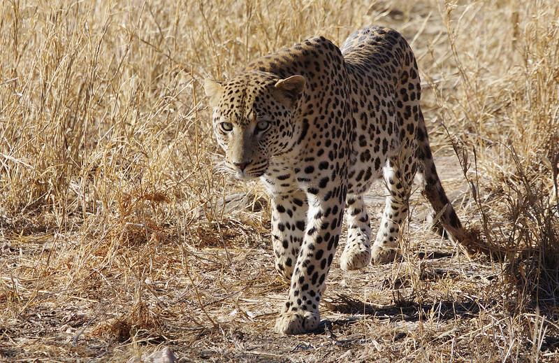 Leopard on the prowl. Taken from my Car near Dusternbrook Namibia.