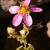 Za 1754 Fagonia capensis