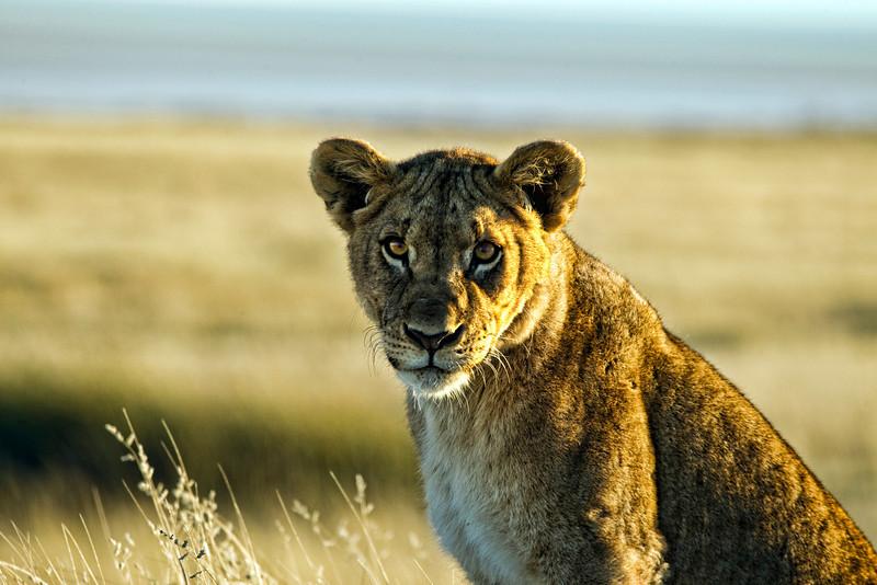 Young Female Lion taken at daybreak, near the Salvadora waterhole, Etosha National Park, Namibia, June 2010