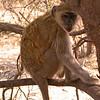 Za 3883 Groene meerkat