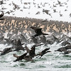 Cape Cormorants Take Flight