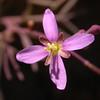 Za 1751 Heliophila spec
