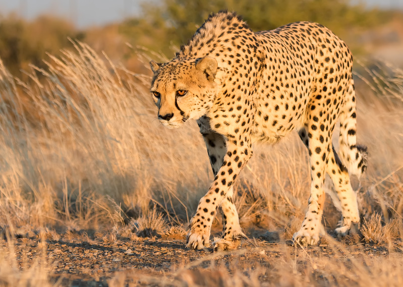 Cheetah On Morning Patrol