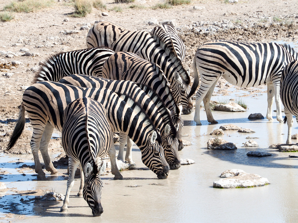 Zebras at a watering hole in Namibia