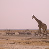 Za 3684 Gemsbokken, Zebra's en Giraffe