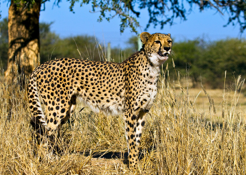 Cheeta (Female) standing just below her eating tree just after a meal - Namibia. She still shows blood on her bottom lip.