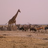 Za 3680 Gemsbokken, Springbok, Zebra's , Gnoes en Giraffe
