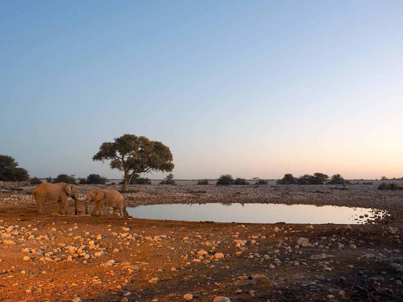 Elephants at the watering hole at Okaukuejo Camp in Etosha